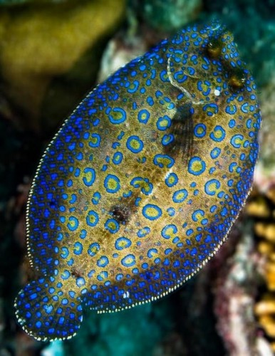 The Peacock Flounder Looks Like a Peacock But Acts Like a Chameleon! So Basically, It's Really Awesome.