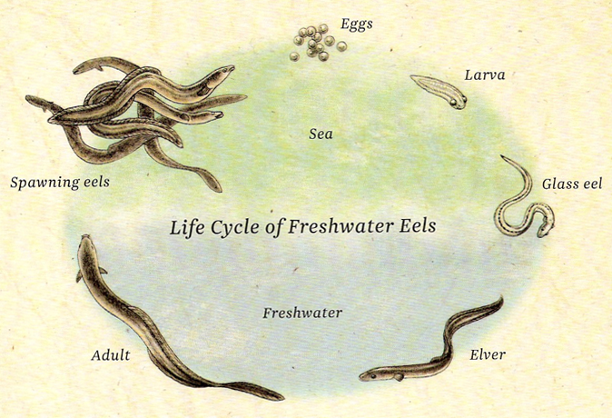 Ever Wondered What a Baby Eel Looked Like? They're Made ...