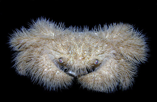 The Hairy Crab is the 'Teddy Bear' of the Crab World. Cute!