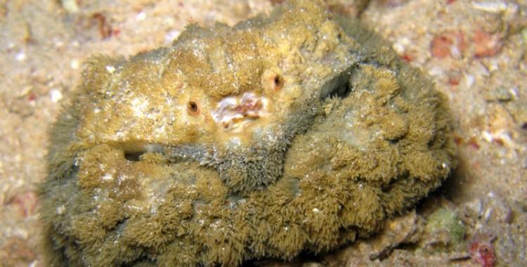 hairy crab, Pilumnus vespertilio (4)