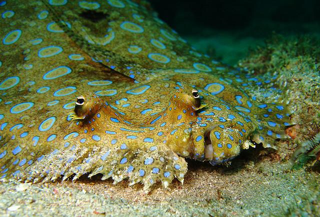 peacock flounder, Bothus mancus (1)