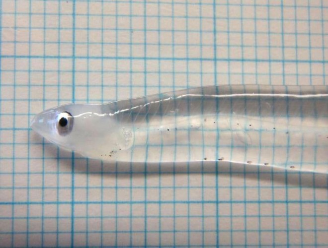 Ever Wondered What a Baby Eel Looked Like? They're Made Out of Glass!