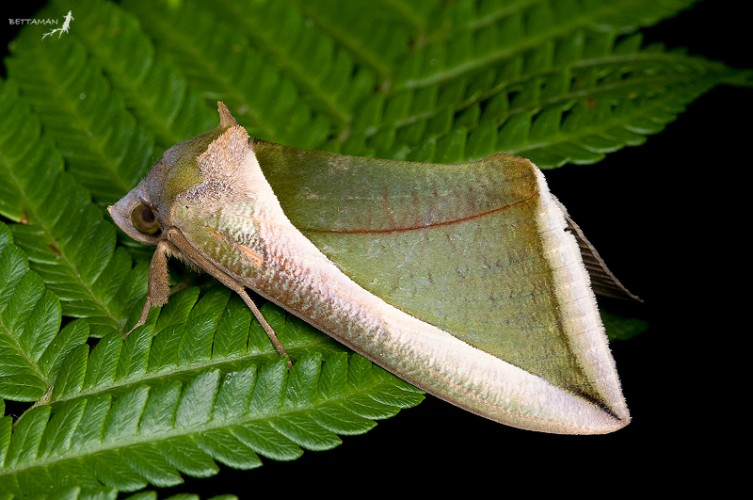 Fruit piercing moth, Eudocima salaminia (5)