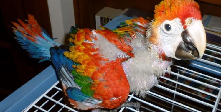 scarlet macaw, Ara macao (6)
