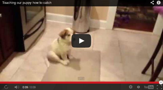 Puppy Fails at Playing Catch (adorable)