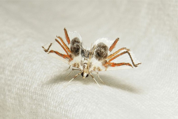 Newly Discovered Species of Moth Mimics a SPIDER!