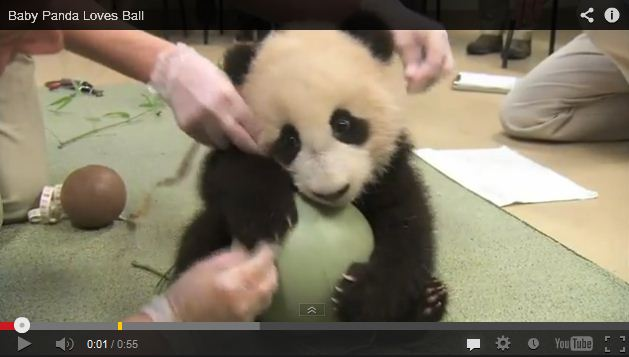 Baby Panda Protectively Cuddles His Big Green Ball