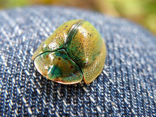 Little Tortoise Beetle Looks Like an Itty-bitty Gleaming War Helmet!