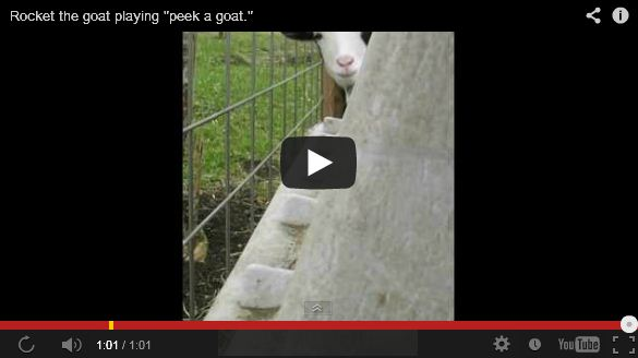 Shy Goat Plays Peek-a-Boo