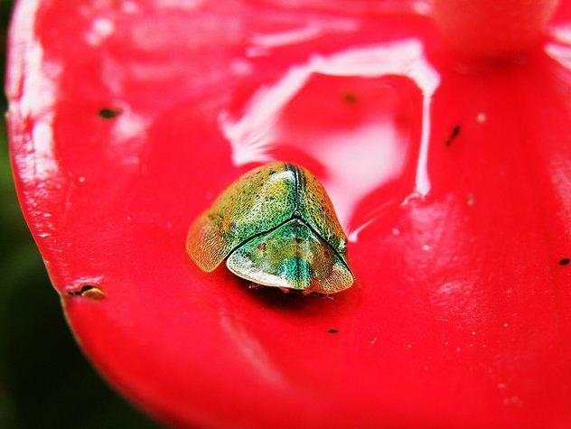 tortoise beetle, cassidinae (1)