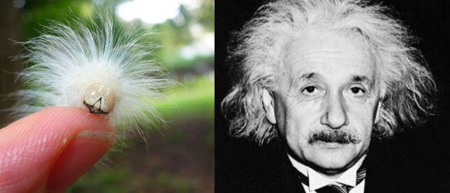 Look! It's Albert Einstein Reincarnated As a Caterpillar!