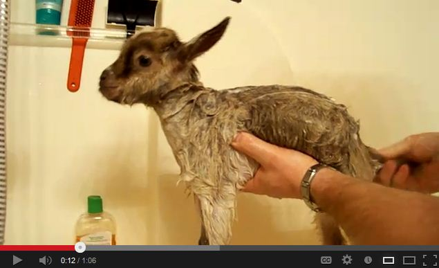 Heidi The Baby Goat Gets Her First Bath (Baby Goat Yelling Inside)