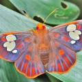 beautiful butterfly, rare redeye flat butterfly, Chaetocneme denitza (2)