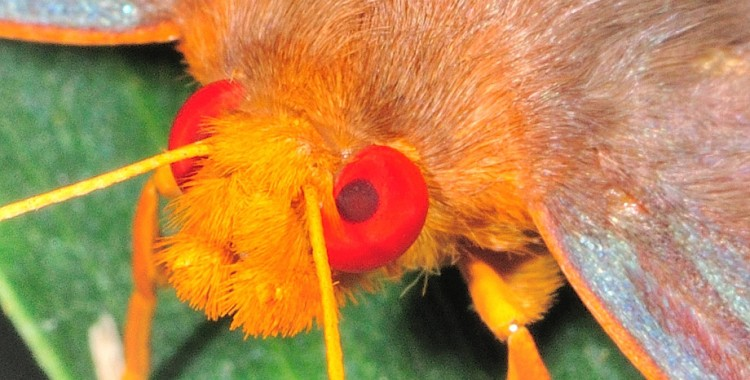 rare redeye flat butterfly, Chaetocneme denitza, Ornate Dusk-flat (1)