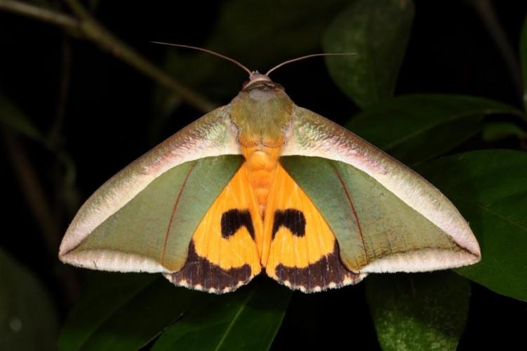 Fruit piercing moth, Eudocima salaminia (2)