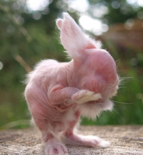 hairless rabbit, hairless bunny (5)