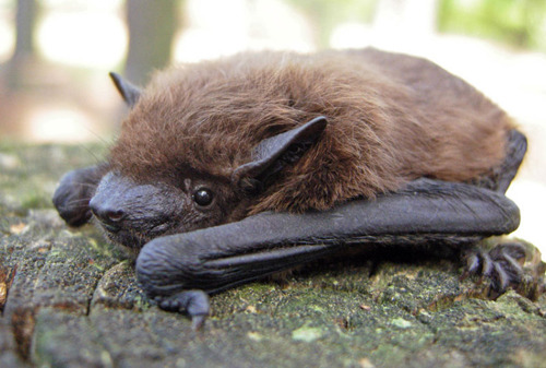 evening bat, Nycticeius humeralis (3)
