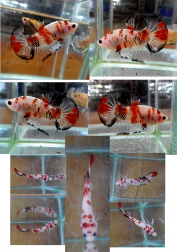 Betta Fish Morphs: Koi Fish!