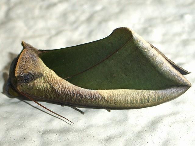 Fruit piercing moth, Eudocima salaminia (1)