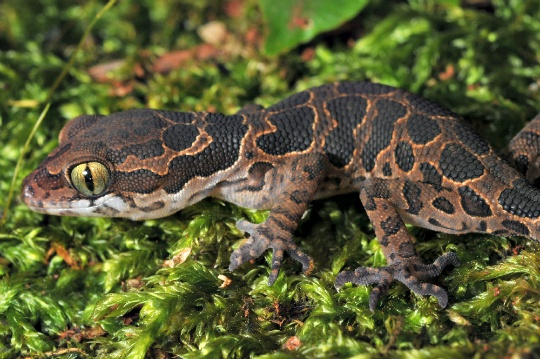 Jeypore Ground Gecko, Thought To Be Extinct for 135 years, Rediscovered!