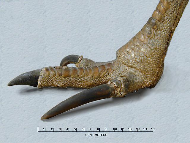 Velociraptors in Real Life: Northern Cassowaries