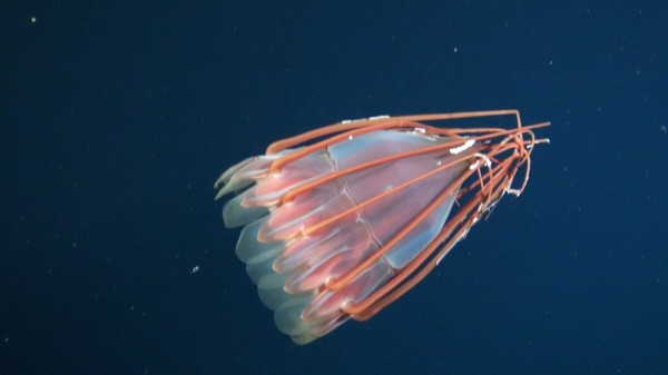 New Species of Bizarre Deep Sea Jellyfish Spotted!