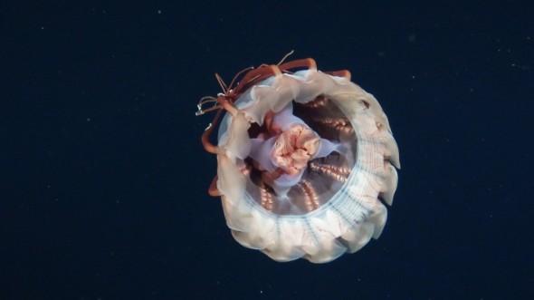 deep sea jellyfish (1)