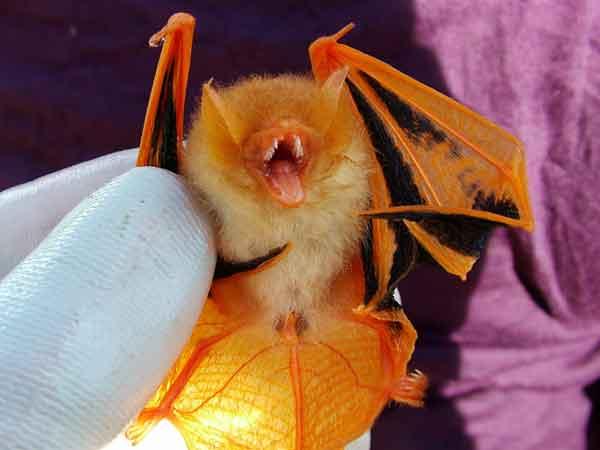 painted bat, Kerivoula picta (4)
