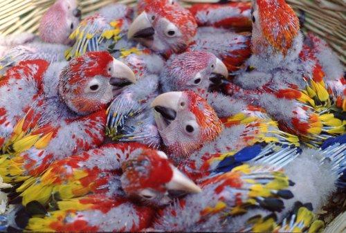 scarlet macaw, Ara macao (3)