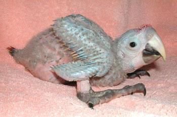 scarlet macaw, Ara macao (2)