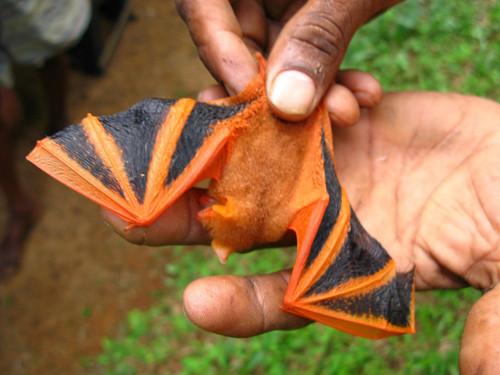 painted bat, Kerivoula picta (3)