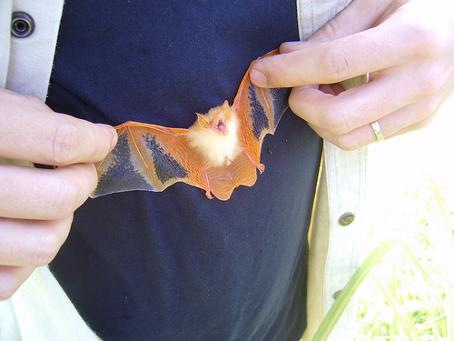painted bat, Kerivoula picta (2)