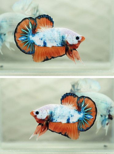 Betta Fish Morphs: Dragon Fancy Orange Halfmoon Plakat