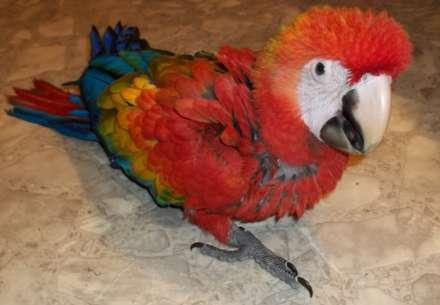 scarlet macaw, Ara macao (1)