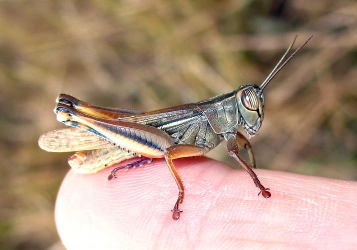 Eyprepocnemis plorans, grasshopper (1)