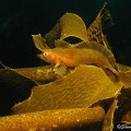 crested weedfish, Cristiceps aurantiacus (4)