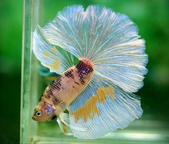 betta fish (4)