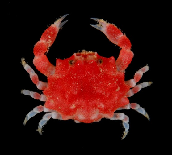 Raspberry Crabs are Berry Cute Crustaceans!