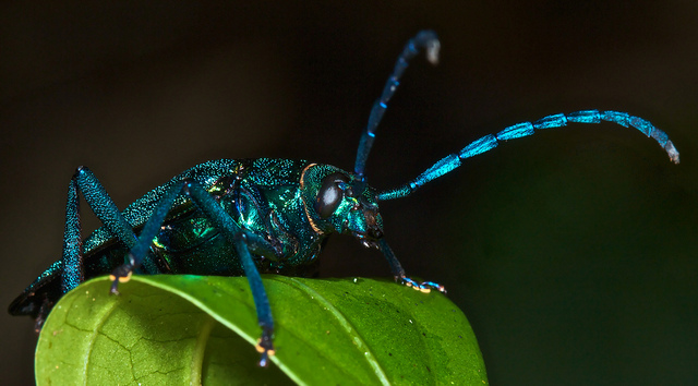 Blue iridescent longhorn beetle, Esmeralda coerulea, (3)