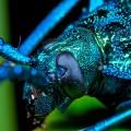 Blue iridescent longhorn beetle, Esmeralda coerulea, (2)