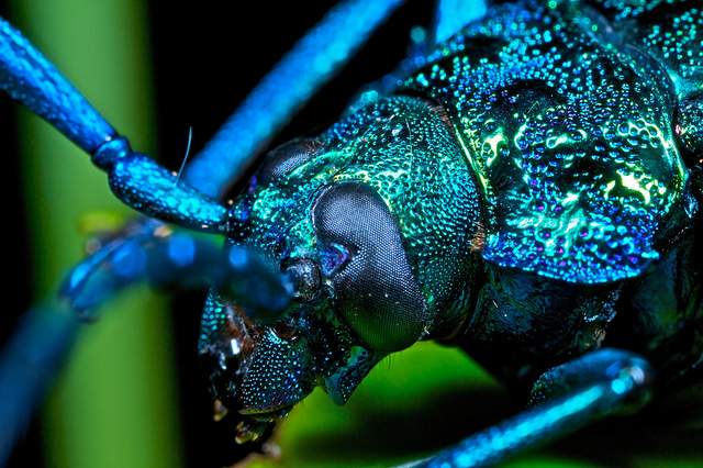 The Blue Longhorn Beetle is a Jewel of a Creature. Truth.