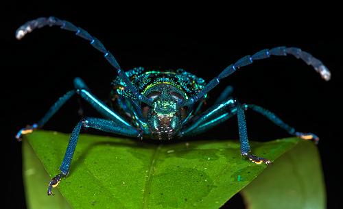 Blue iridescent longhorn beetle, Esmeralda coerulea,  (1)