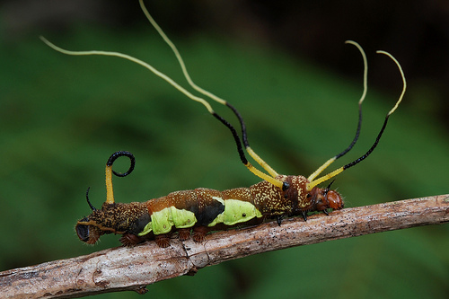 Take a Gander at These Weird Caterpillars: Arsenura sp.