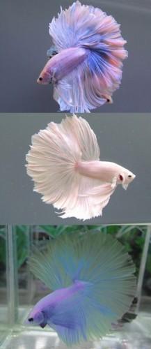 betta fish (5)