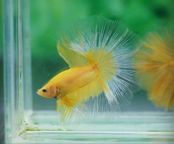 betta fish (1)