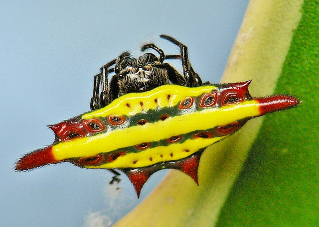 Spiny Orb-Weaver Spider, Gasteracantha diadesmia (3)