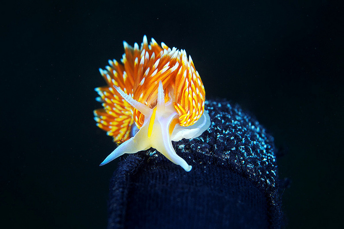 Hermissenda crassicornis, opalescent nudibranch (4)
