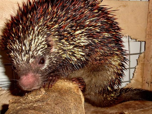 New Species of Tree-dwelling Porcupine Found; Already Highly Endangered