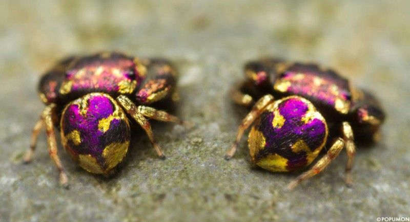 Shockingly Beautiful Purple and Gold Species of Jumping Spider Found in Thailand!