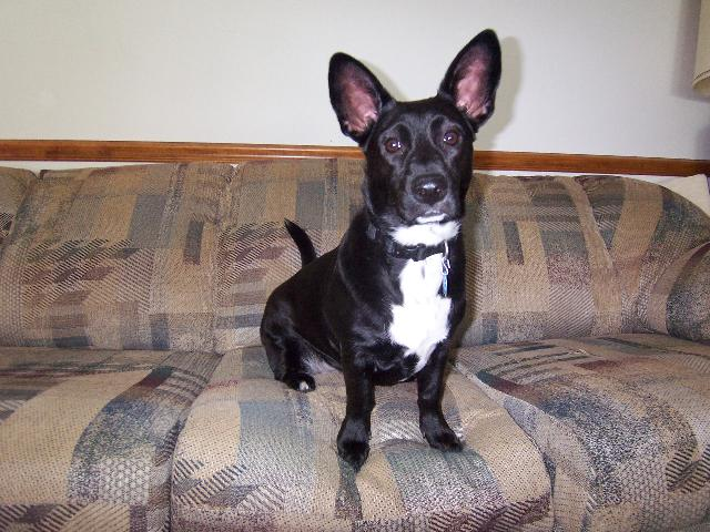 corgi lab mix, corgi mixed breeds